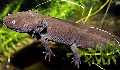 dark axolotl