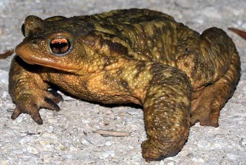 bufo bufo toad