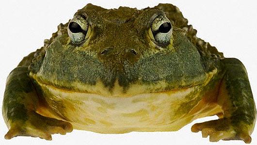 bullfrog head