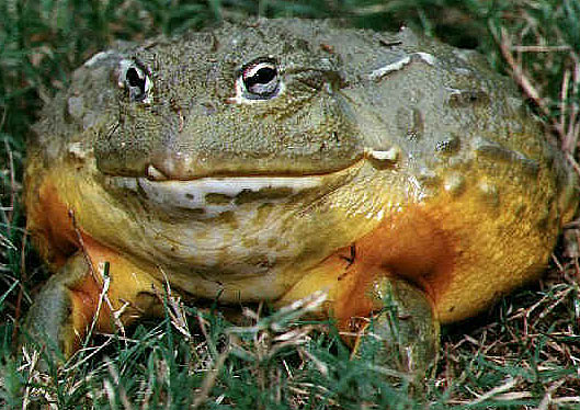 the biggest frog caught in the world - YouTube