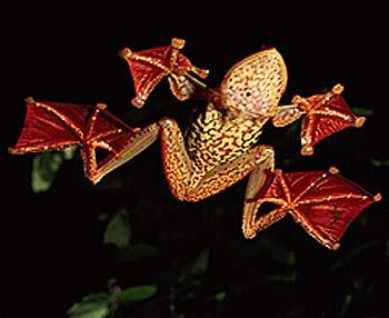 flying frog borneo