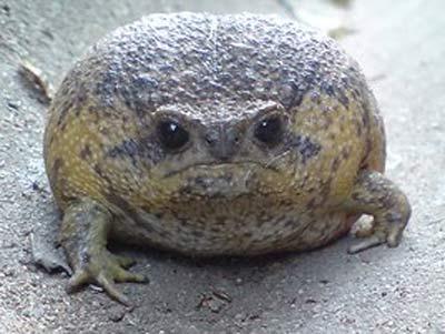 jabba zefrog