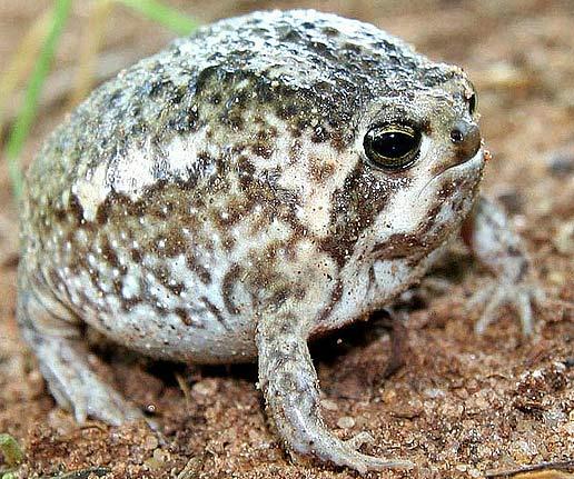 south-africa-rain-frog.jpg