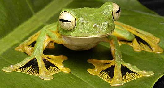 Asian golden tree frog facts images 794