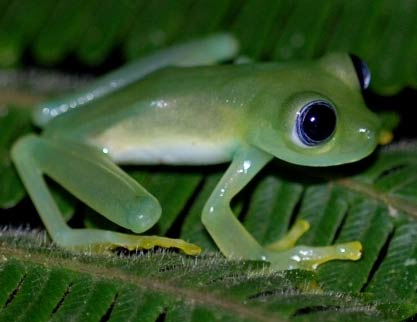 Glass Frogs - The See-through Frogs | Animal Pictures and Facts ...