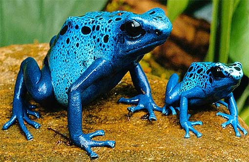 blue pair juvenile dart frog
