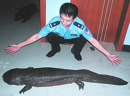 Chinese Giant Salamander - World's Largest Amphibian ... Oarfish Skeleton