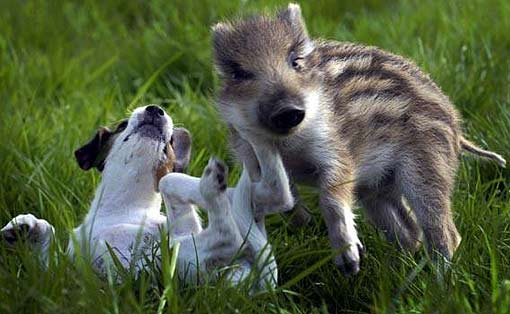 boar with jack russell