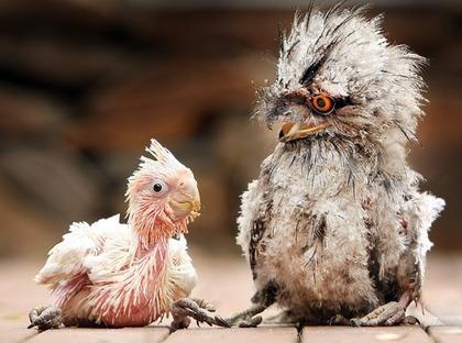 owl parrot