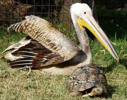 pelican tortoise
