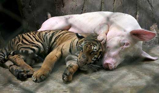 tiger and pig