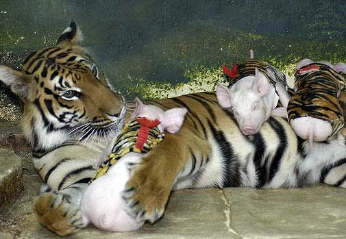 tiger and the pig
