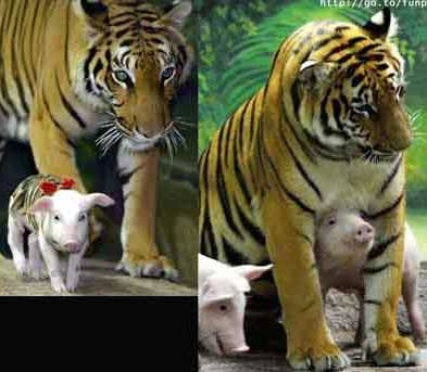 tigers and pigs