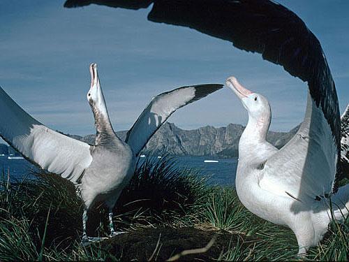 albatrosses flapping wings