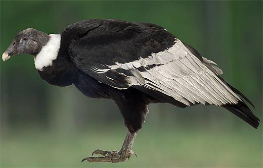 standing profile condor