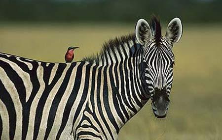 ridin zebra