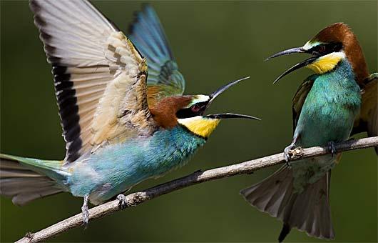 pair chirp