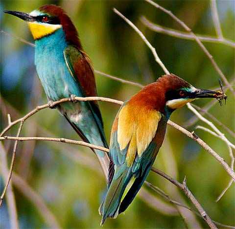 european bee eater little rainbow bird animal pictures and facts