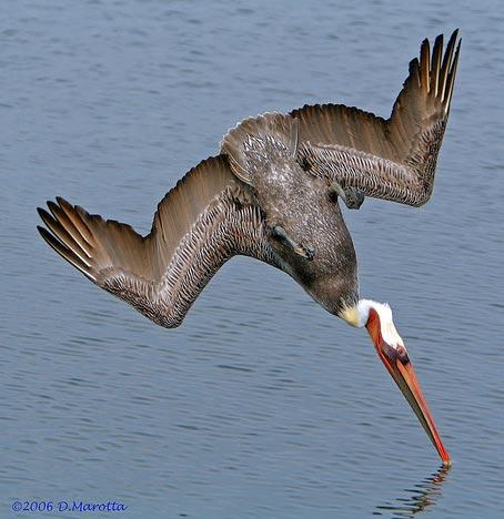 diving pelican