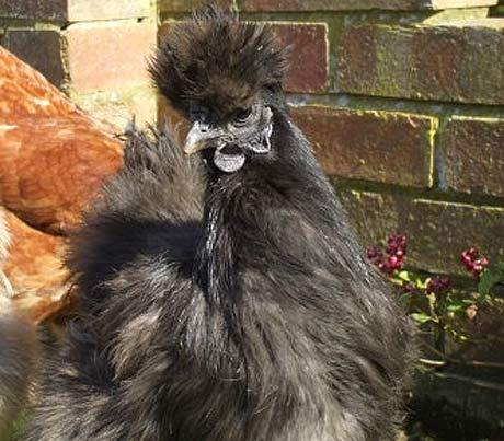 Silkie Chicken The Furry Muppet