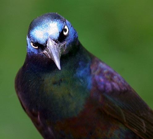 clever common grackle