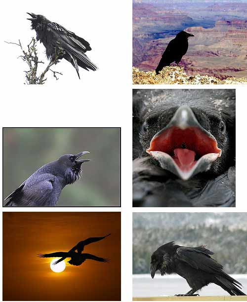 Crows, Jays, Ravens - The Corvidae Family - Some Clever Birds ...