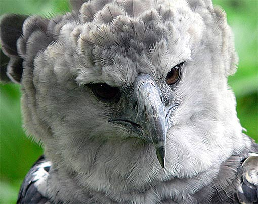 harpy eagle close up
