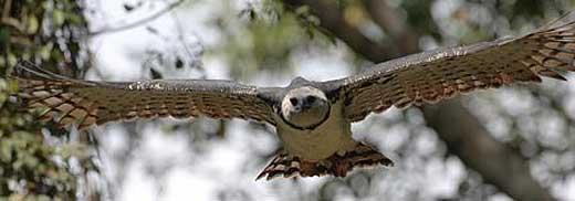 harpy eagle sky