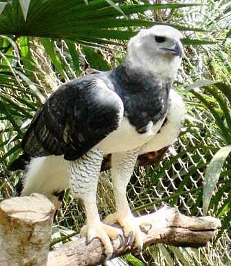 harpy eagle zoo