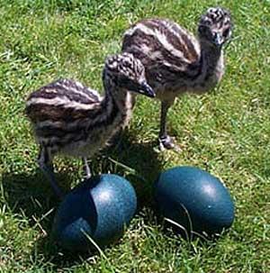 emu chicks blue eggs