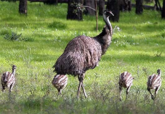 emu with young