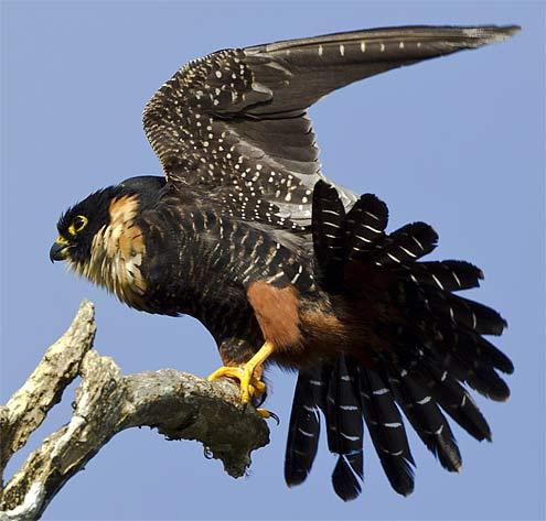 bat falcon flapping