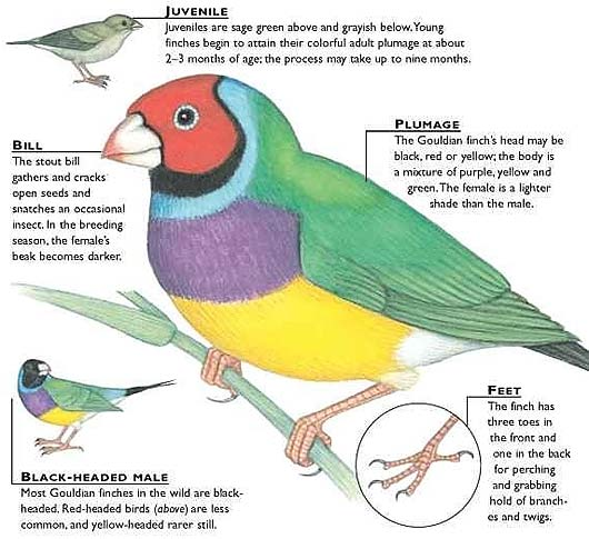 diagram finch