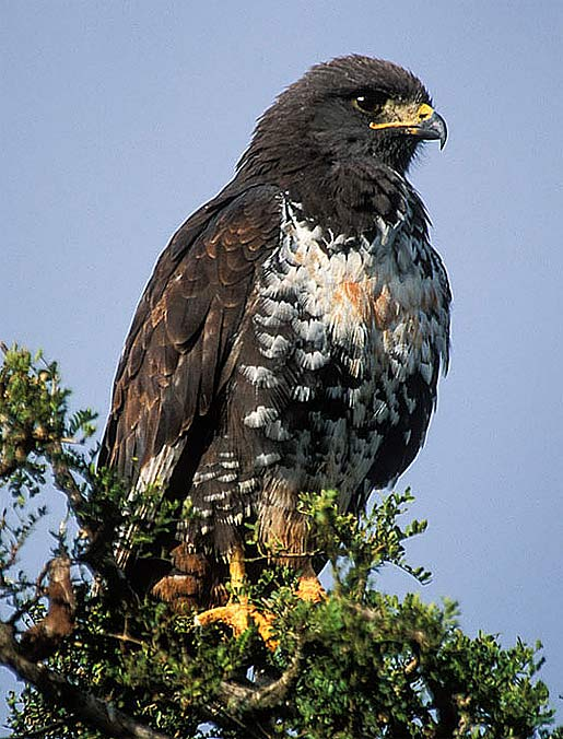 Jackal Buzzard - Southern African Soaring Hunter | Animal Pictures ...