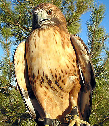 red tailed hawk fawn