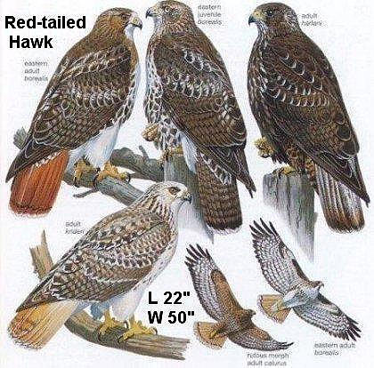 red tailed hawk variety