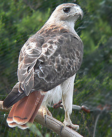 red tailed hawk white