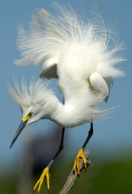Snowy Egret - Nice White Plumes | Animal Pictures and Facts | FactZoo.