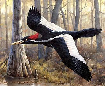 ivory bill flying