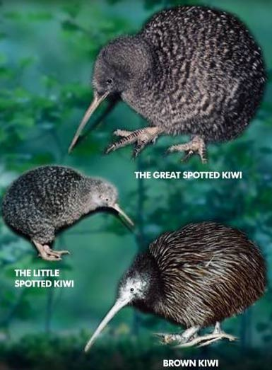 family of kiwis