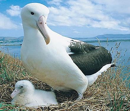 mother young albatross