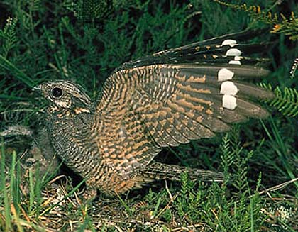 common nightjar