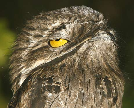 great potoo closing eyes