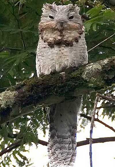 great potoo daytime sleepy