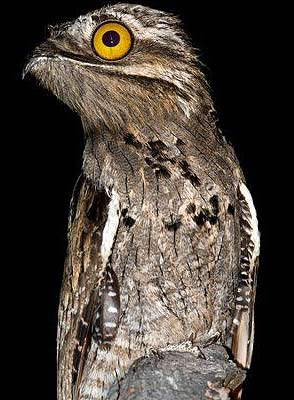 potoo eyes open