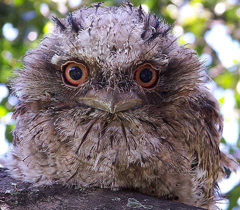 small tawny frogmouth