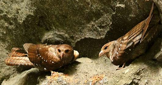 two oilbirds