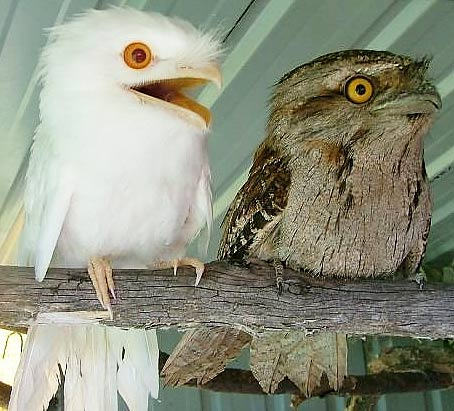 two tawny frogmouths albino