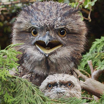 two tawny frogmouths baby