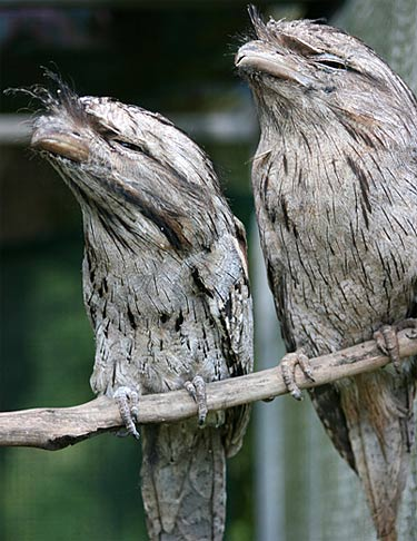 Tawny Frogmouth No Its Not An Owl Or A Puppet Animal